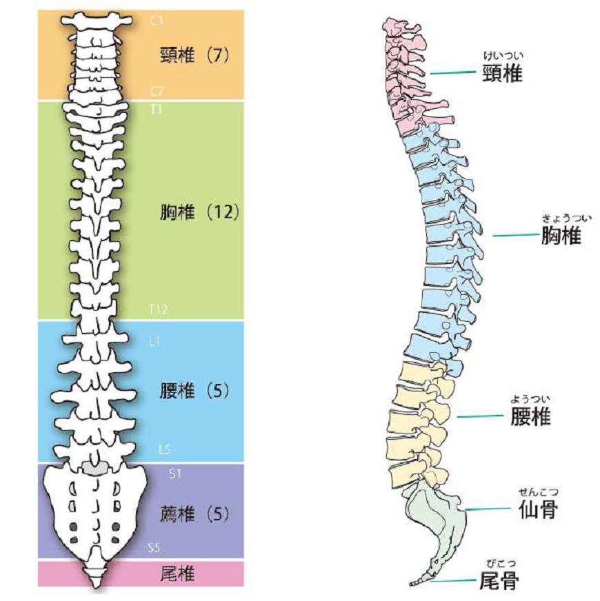 ゴルフスイング脊椎